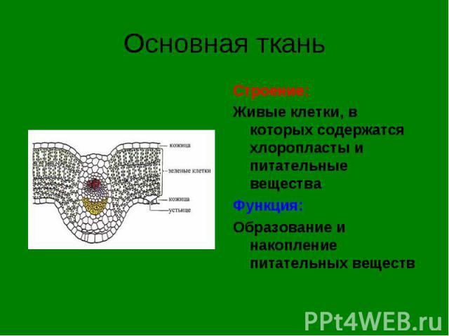 Строение: Строение: Живые клетки, в которых содержатся хлоропласты и питательные вещества Функция: Образование и накопление питательных веществ