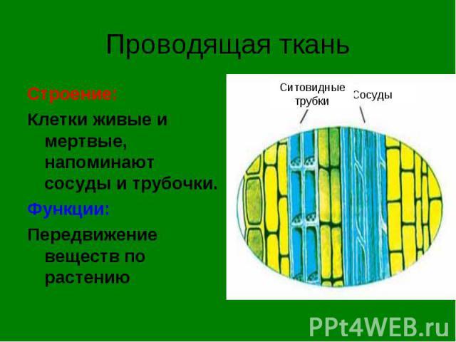 Строение: Строение: Клетки живые и мертвые, напоминают сосуды и трубочки. Функции: Передвижение веществ по растению