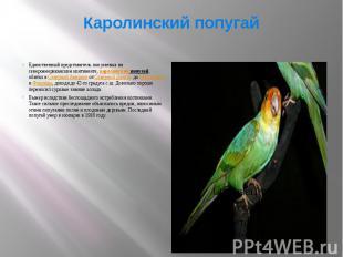 Каролинский попугай Единственный представитель попугаевых на североамериканском