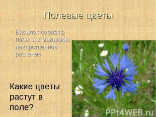 Василек-сорняк в поле, а в медицине - лекарственное растение Василек-сорняк в по