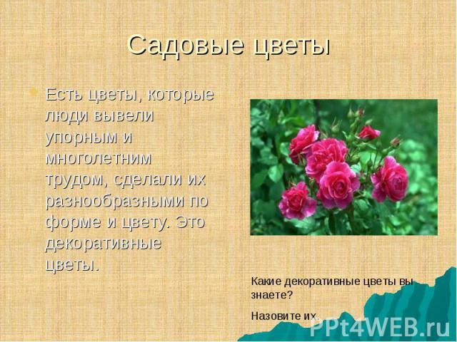 Есть цветы, которые люди вывели упорным и многолетним трудом, сделали их разнообразными по форме и цвету. Это декоративные цветы. Есть цветы, которые люди вывели упорным и многолетним трудом, сделали их разнообразными по форме и цвету. Это декоратив…
