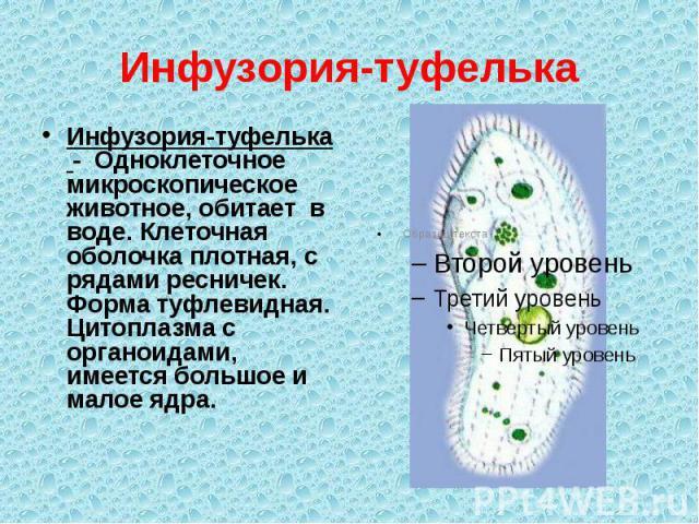 Инфузория-туфелька Инфузория-туфелька - Одноклеточное микроскопическое животное, обитает в воде. Клеточная оболочка плотная, с рядами ресничек. Форма туфлевидная. Цитоплазма с органоидами, имеется большое и малое ядра.