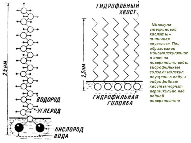 Молекула стеариновой кислоты – типичная «русалка». При образовании мономолекулярного слоя на поверхности воды гидрофильные головки молекул опущены в воду, а гидрофобные хвосты торчат вертикально над водной поверхностью. Молекула стеариновой кислоты …