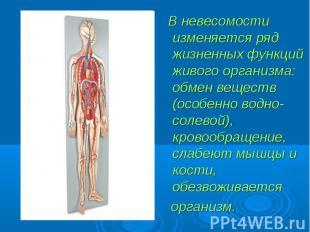 В невесомости изменяется ряд жизненных функций живого организма: обмен веществ (