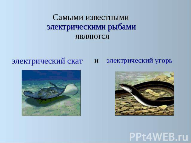 Самыми известными электрическими рыбами являются Самыми известными электрическими рыбами являются