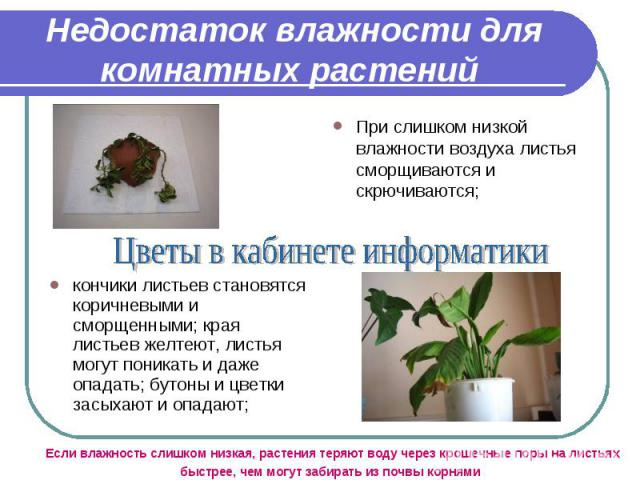 При слишком низкой влажности воздуха листья сморщиваются и скрючиваются; При слишком низкой влажности воздуха листья сморщиваются и скрючиваются;