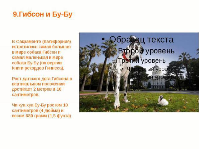 9.Гибсон и Бу-Бу В Сакраменто (Калифорния) встретились самая большая в мире собака Гибсон и самая маленькая в мире собака Бу-Бу (по версии Книги рекордов Гиннеса). Рост датского дога Гибсона в вертикальном положении достигает 2 метров и 10 сантиметр…
