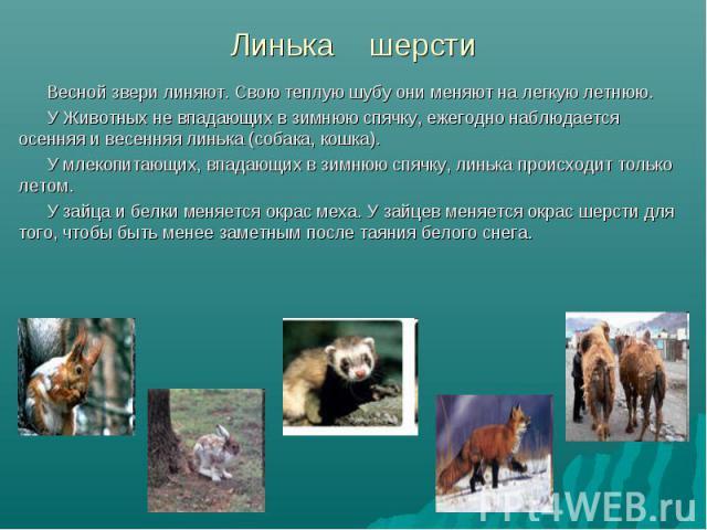 Весной звери линяют. Свою теплую шубу они меняют на легкую летнюю. Весной звери линяют. Свою теплую шубу они меняют на легкую летнюю. У Животных не впадающих в зимнюю спячку, ежегодно наблюдается осенняя и весенняя линька (собака, кошка). У млекопит…