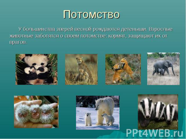 У большинства зверей весной рождаются детеныши. Взрослые животные заботятся о своем потомстве: кормят, защищают их от врагов. У большинства зверей весной рождаются детеныши. Взрослые животные заботятся о своем потомстве: кормят, защищают их от врагов.