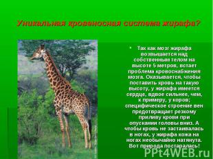Так как мозг жирафа возвышается над собственным телом на высоте 5 метров, встает