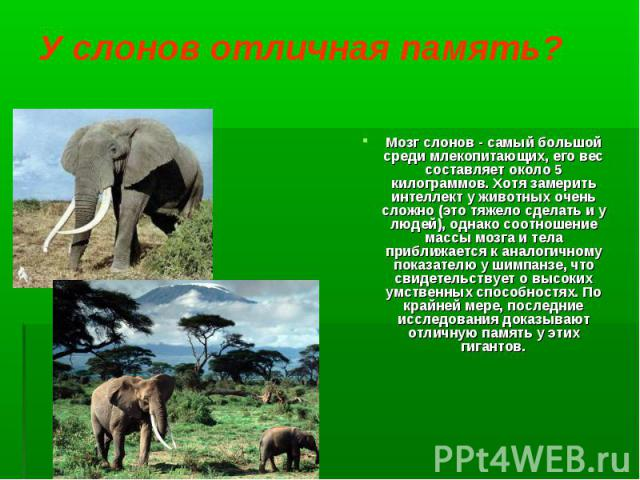 Мозг слонов - самый большой среди млекопитающих, его вес составляет около 5 килограммов. Хотя замерить интеллект у животных очень сложно (это тяжело сделать и у людей), однако соотношение массы мозга и тела приближается к аналогичному показателю у ш…