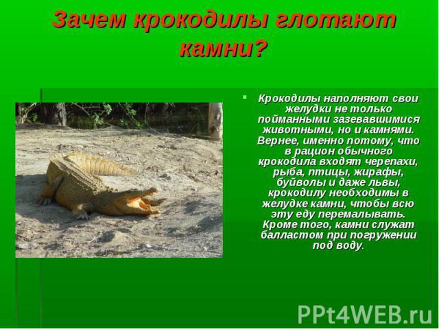 Крокодилы наполняют свои желудки не только пойманными зазевавшимися животными, но и камнями. Вернее, именно потому, что в рацион обычного крокодила входят черепахи, рыба, птицы, жирафы, буйволы и даже львы, крокодилу необходимы в желудке камни, чтоб…