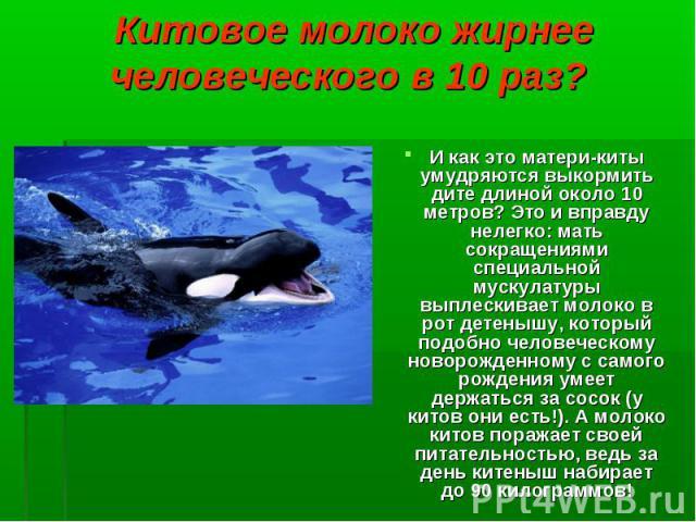 И как это матери-киты умудряются выкормить дите длиной около 10 метров? Это и вправду нелегко: мать сокращениями специальной мускулатуры выплескивает молоко в рот детенышу, который подобно человеческому новорожденному с самого рождения умеет держать…
