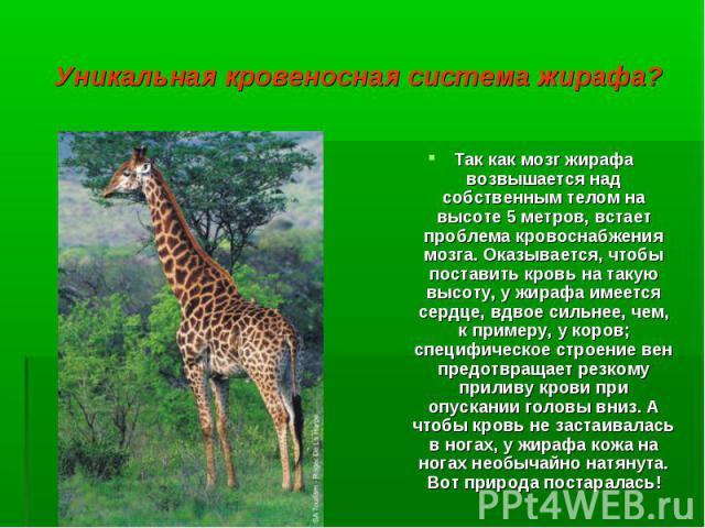 Так как мозг жирафа возвышается над собственным телом на высоте 5 метров, встает проблема кровоснабжения мозга. Оказывается, чтобы поставить кровь на такую высоту, у жирафа имеется сердце, вдвое сильнее, чем, к примеру, у коров; специфическое строен…