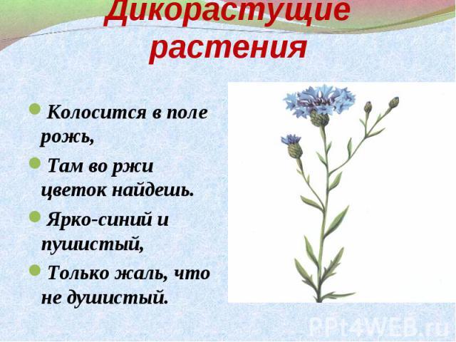 Колосится в поле рожь, Колосится в поле рожь, Там во ржи цветок найдешь. Ярко-синий и пушистый, Только жаль, что не душистый.