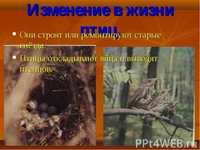 Они строят или ремонтируют старые гнёзда. Они строят или ремонтируют старые гнёзда. Птицы откладывают яйца и выводят птенцов.