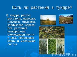 В тундре растут: мох ягель, морошка, голубика, брусника, карликовая береза. Все