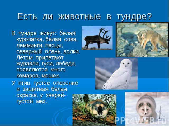 В тундре живут: белая куропатка, белая сова, лемминги, песцы, северный олень, волки. Летом прилетают журавли, гуси, лебеди, появляются много комаров, мошек. В тундре живут: белая куропатка, белая сова, лемминги, песцы, северный олень, волки. Летом п…