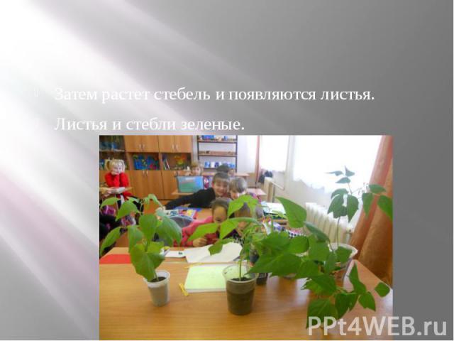 Затем растет стебель и появляются листья. Листья и стебли зеленые.