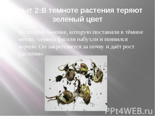 Опыт 2:В темноте растения теряют зеленый цвет Во второй баночке, которую поставили в тёмное место, семена фасоли набухли и появился корень. Он закрепляется за почву и даёт рост растению