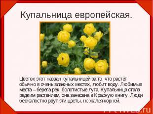 Цветок этот назван купальницей за то, что растёт обычно в очень влажных местах,