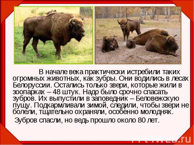 В начале века практически истребили таких огромных животных, как зубры. Они водились в лесах Белоруссии. Остались только звери, которые жили в зоопарках – 48 штук. Надо было срочно спасать зубров. Их выпустили в заповедник – Беловежскую пущу. Подкар…