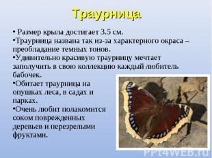 Размер крыла достигает 3.5 см. Размер крыла достигает 3.5 см. Траурница названа