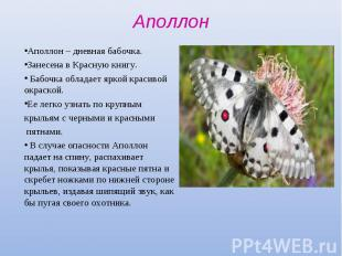 Аполлон – дневная бабочка. Аполлон – дневная бабочка. Занесена в Красную книгу.