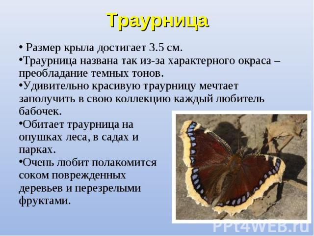 Размер крыла достигает 3.5 см. Размер крыла достигает 3.5 см. Траурница названа так из-за характерного окраса – преобладание темных тонов. Удивительно красивую траурницу мечтает заполучить в свою коллекцию каждый любитель бабочек. Обитает траурница …