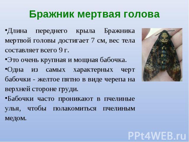 Длина переднего крыла Бражника мертвой головы достигает 7 см, вес тела составляет всего 9 г. Длина переднего крыла Бражника мертвой головы достигает 7 см, вес тела составляет всего 9 г. Это очень крупная и мощная бабочка. Одна из самых характерных ч…