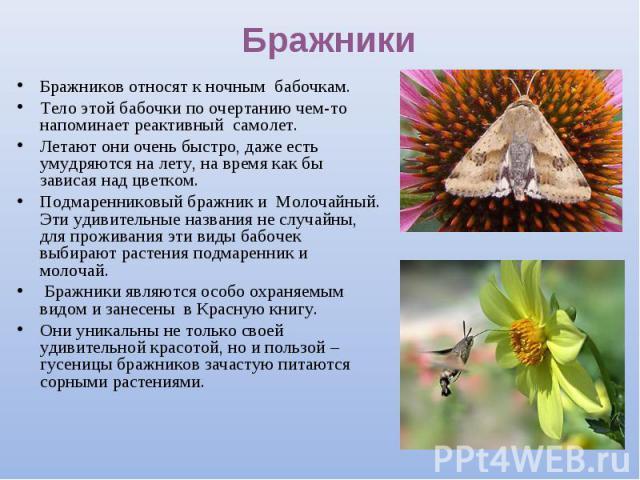 Бражников относят к ночным бабочкам. Бражников относят к ночным бабочкам. Тело этой бабочки по очертанию чем-то напоминает реактивный самолет. Летают они очень быстро, даже есть умудряются на лету, на время как бы зависая над цветком. Подмаренниковы…