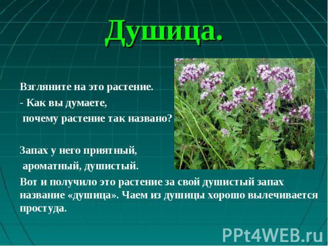 Взгляните на это растение. - Как вы думаете, почему растение так названо? Запах у него приятный, ароматный, душистый. Вот и получило это растение за свой душистый запах название «душица». Чаем из душицы хорошо вылечивается простуда.