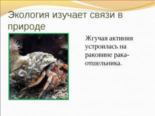 Жгучая актиния устроилась на раковине рака-отшельника. Жгучая актиния устроилась