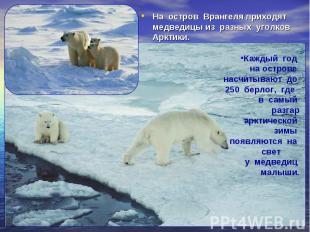 На остров Врангеля приходят медведицы из разных уголков Арктики. На остров Вранг