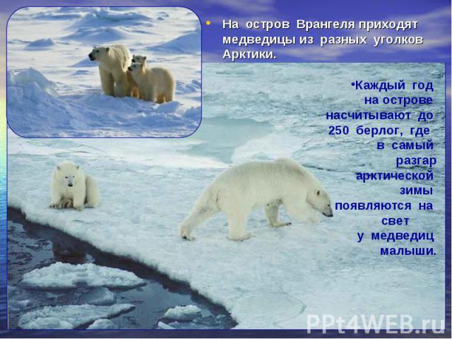 На остров Врангеля приходят медведицы из разных уголков Арктики. На остров Врангеля приходят медведицы из разных уголков Арктики.