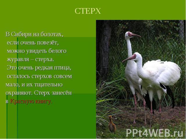 В Сибири на болотах, если очень повезёт, можно увидеть белого журавля – стерха. Это очень редкая птица, осталось стерхов совсем мало, и их тщательно охраняют. Стерх занесён в Красную книгу.