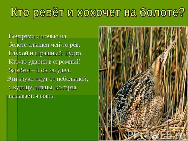 Вечерами и ночью на болоте слышен чей-то рёв. Глухой и страшный. Будто Кто-то ударил в огромный барабан – и он загудел. Эти звуки идут от небольшой, с курицу, птицы, которая называется выпь.