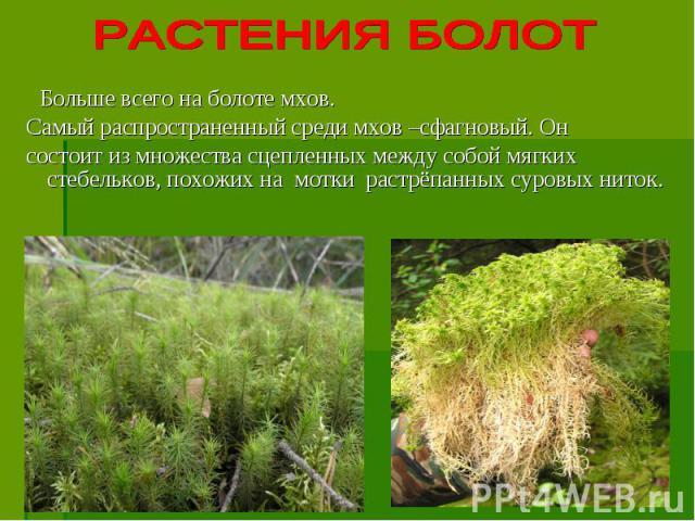 Больше всего на болоте мхов. Самый распространенный среди мхов –сфагновый. Он состоит из множества сцепленных между собой мягких стебельков, похожих на мотки растрёпанных суровых ниток.