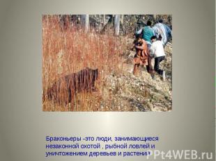 Браконьеры -это люди, занимающиеся незаконной охотой , рыбной ловлей и уничтожен