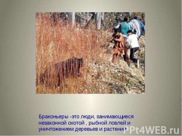 Браконьеры -это люди, занимающиеся незаконной охотой , рыбной ловлей и уничтожением деревьев и растений.