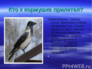 Серая ворона - Corvus cornix. Величина и облик общеизвестны. Голова, крылья и хв