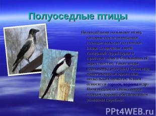 Полуоседлыми называют птиц, которые после выведения птенцов выходят на поиски пи