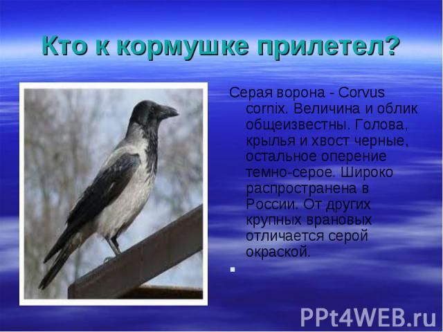 Серая ворона - Corvus cornix. Величина и облик общеизвестны. Голова, крылья и хвост черные, остальное оперение темно-серое. Широко распространена в России. От других крупных врановых отличается серой окраской. Серая ворона - Corvus cornix. Величина …