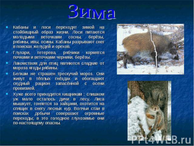 Кабаны и лоси переходят зимой на стойбищный образ жизни. Лоси питаются молодыми веточками сосны, берёзы, рябины, ивы, осины. Кабаны разрывают снег в поисках желудей и орехов. Кабаны и лоси переходят зимой на стойбищный образ жизни. Лоси питаются мол…