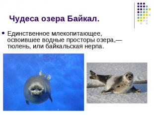 Единственное млекопитающее, освоившее водные просторы озера,— тюлень, или байкал