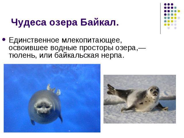 Единственное млекопитающее, освоившее водные просторы озера,— тюлень, или байкальская нерпа. Единственное млекопитающее, освоившее водные просторы озера,— тюлень, или байкальская нерпа.