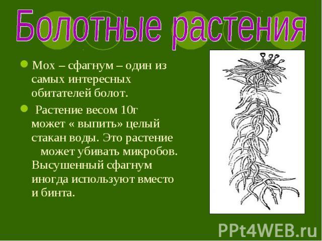 Мох – сфагнум – один из самых интересных обитателей болот. Мох – сфагнум – один из самых интересных обитателей болот. Растение весом 10г может « выпить» целый стакан воды. Это растение может убивать микробов. Высушенный сфагнум иногда используют вме…
