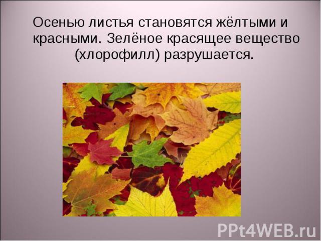 Осенью листья становятся жёлтыми и красными. Зелёное красящее вещество (хлорофилл) разрушается. Осенью листья становятся жёлтыми и красными. Зелёное красящее вещество (хлорофилл) разрушается.