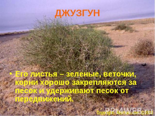 Его листья – зеленые, веточки, корни хорошо закрепляются за песок и удерживают песок от передвижений. Его листья – зеленые, веточки, корни хорошо закрепляются за песок и удерживают песок от передвижений.