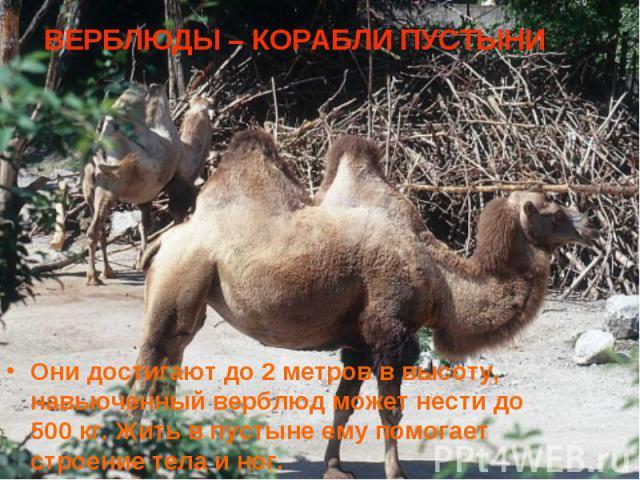 Они достигают до 2 метров в высоту, навьюченный верблюд может нести до 500 кг. Жить в пустыне ему помогает строение тела и ног. Они достигают до 2 метров в высоту, навьюченный верблюд может нести до 500 кг. Жить в пустыне ему помогает строение тела и ног.